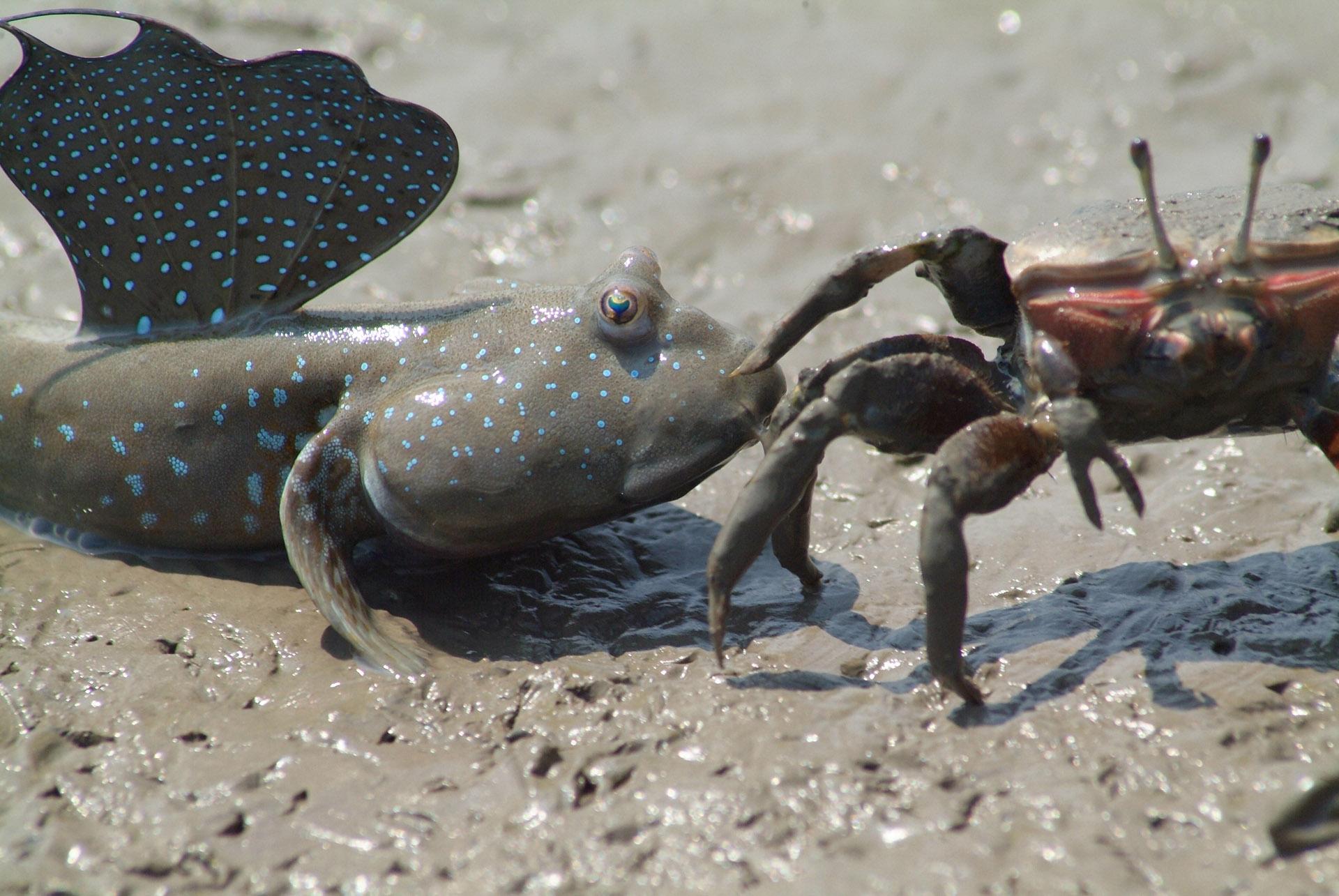 有明海に生息するムツゴロウとシオマネキ