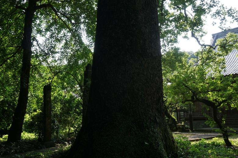 樹齢400年の大楠