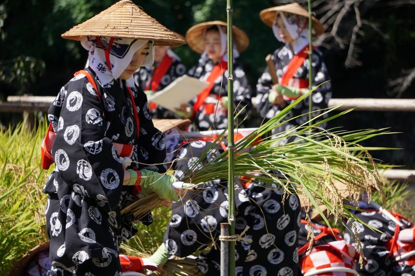 刈り取った稲を持つ巫女さん