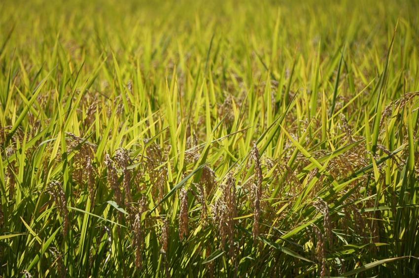 黄金色に輝く稲