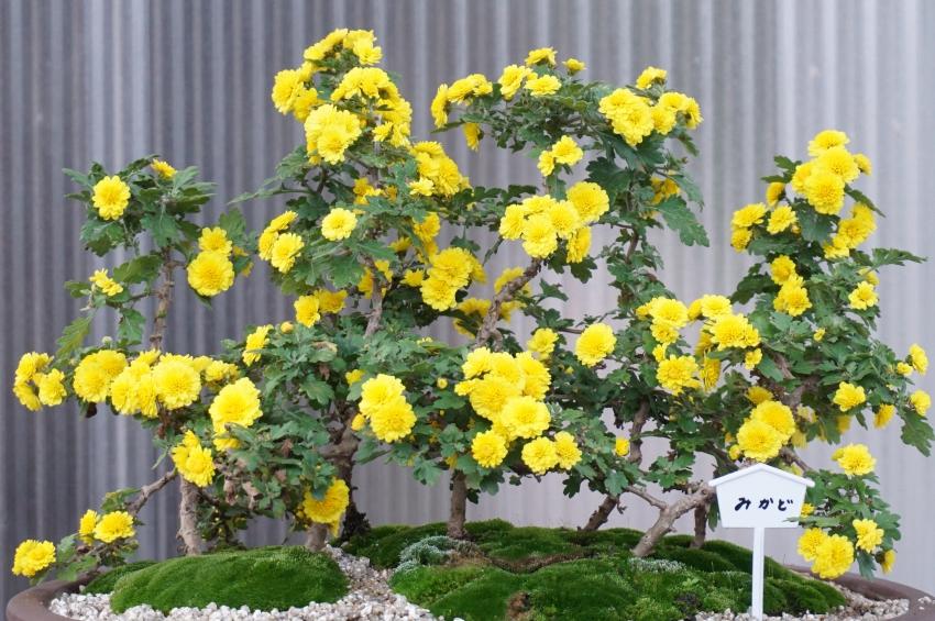 盆栽仕立ての菊