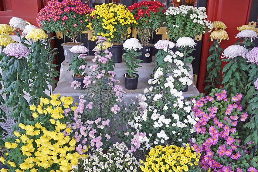 美しくレイアウトされた菊の花