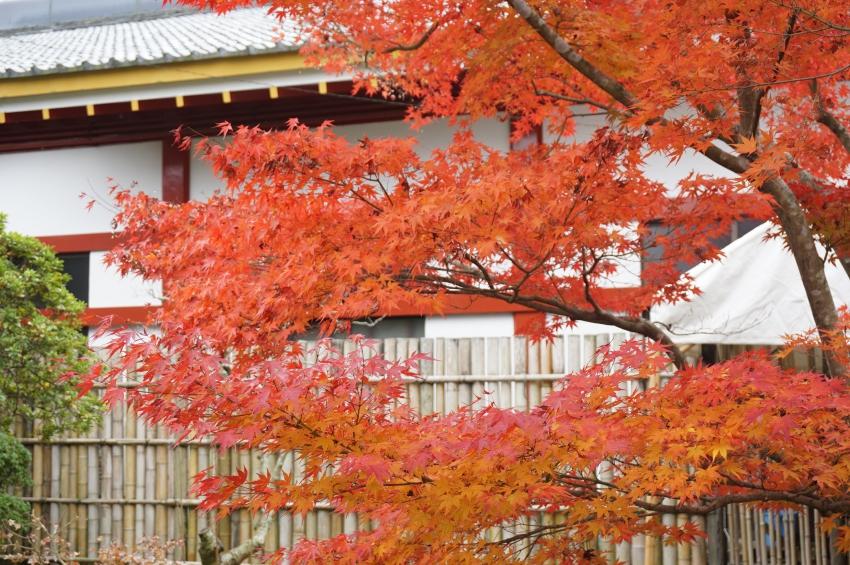 日本庭園のモミジ