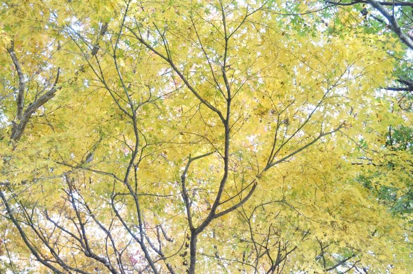 天井を覆う黄色い紅葉