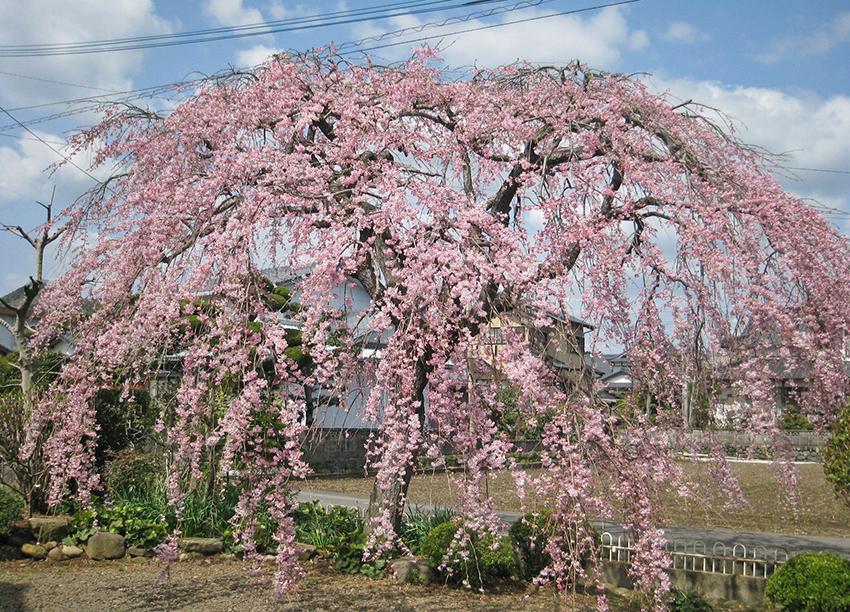 のごみ人形工房の桜