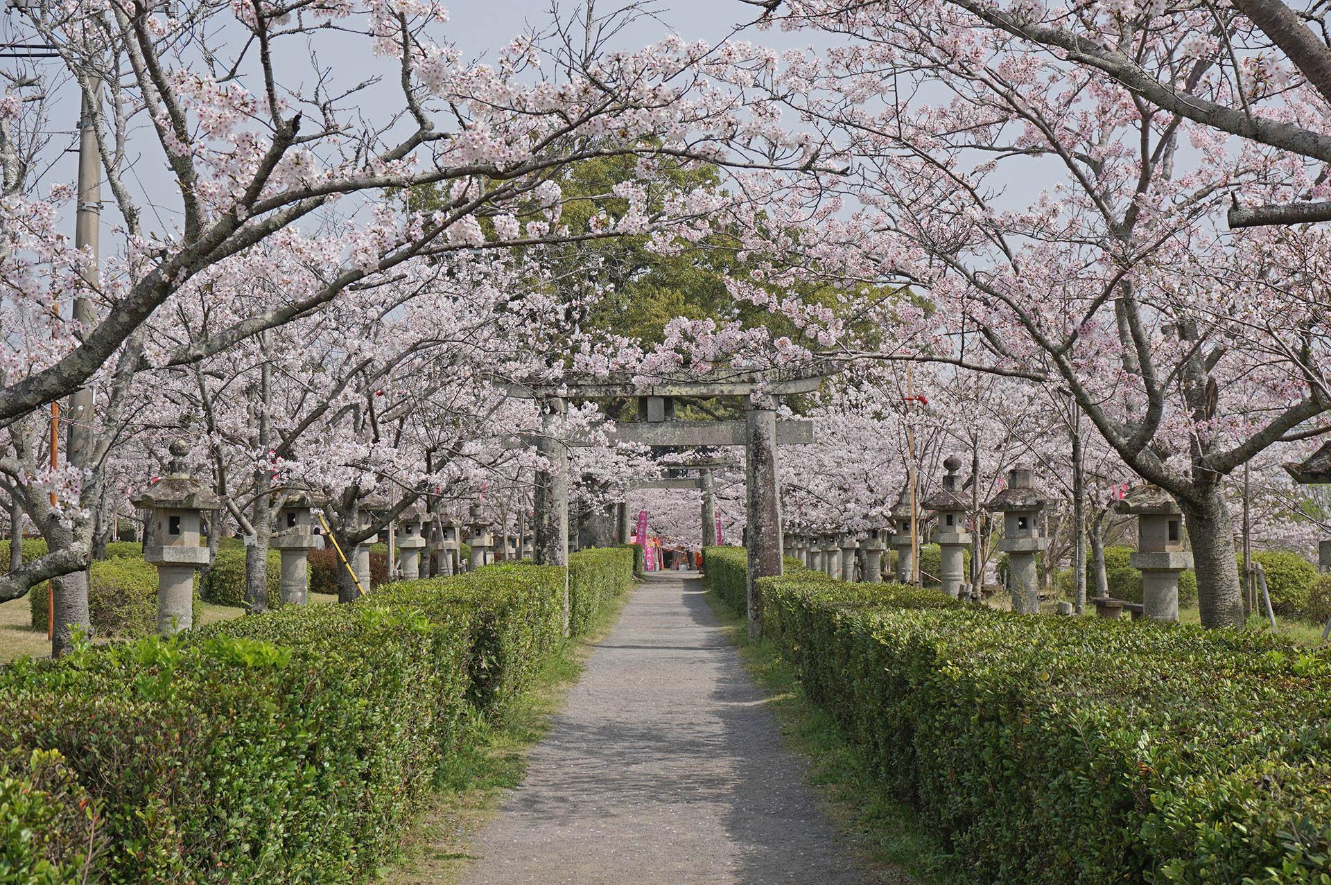 旭ヶ岡公園の石灯篭と桜