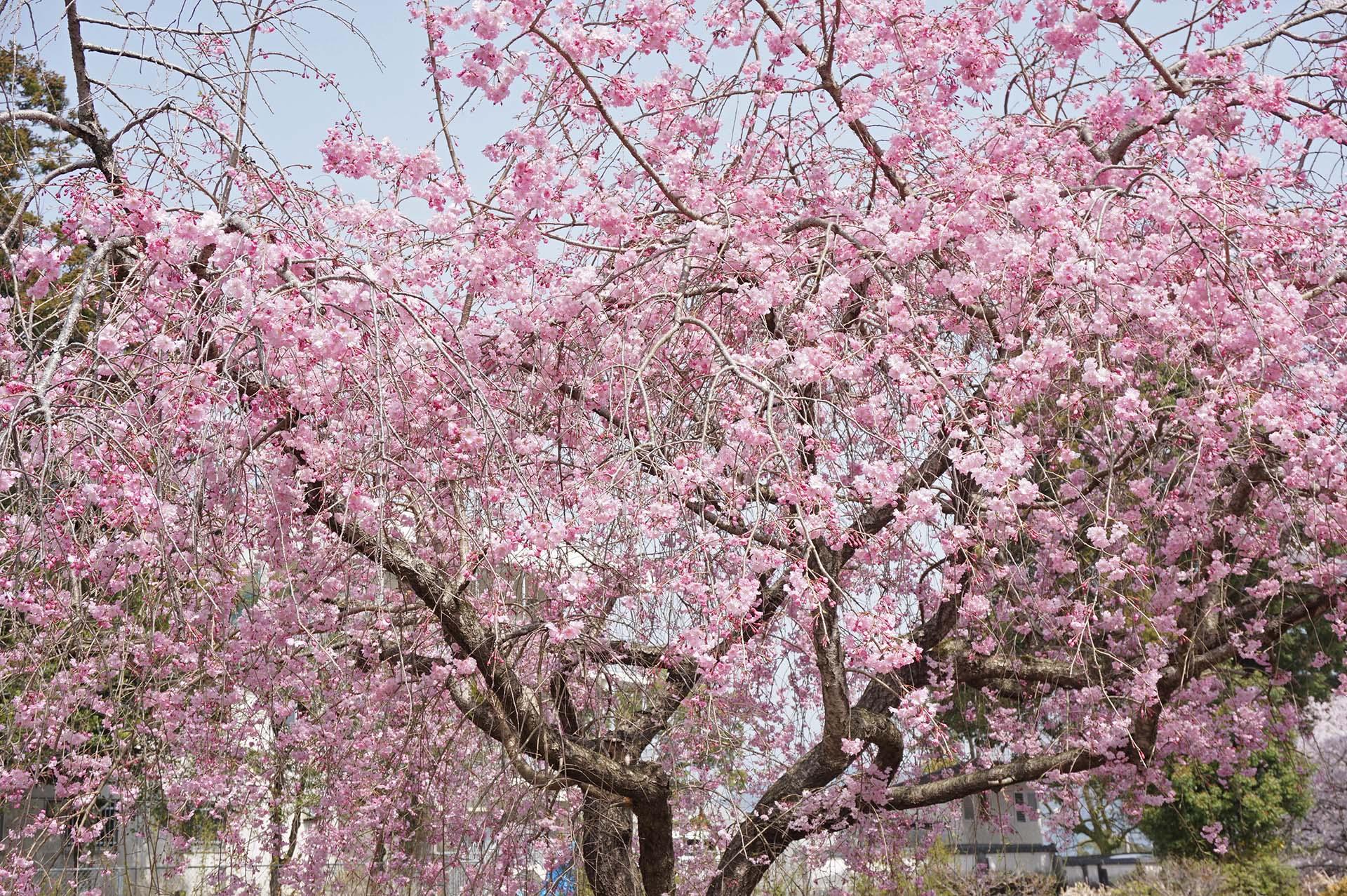 旭ヶ岡公園のしだれ桜