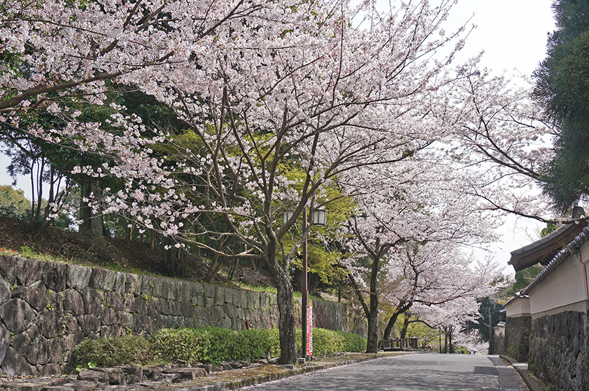武家屋敷通りの桜