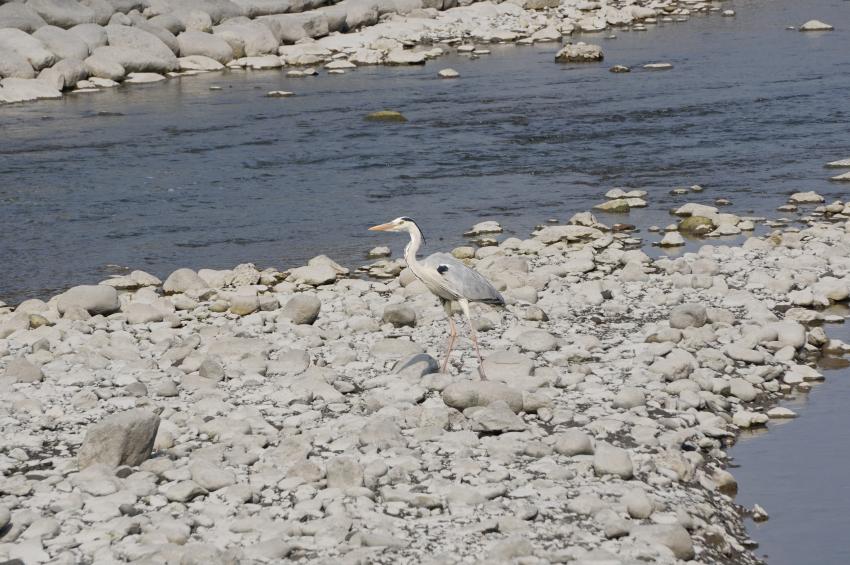 浜川の野鳥