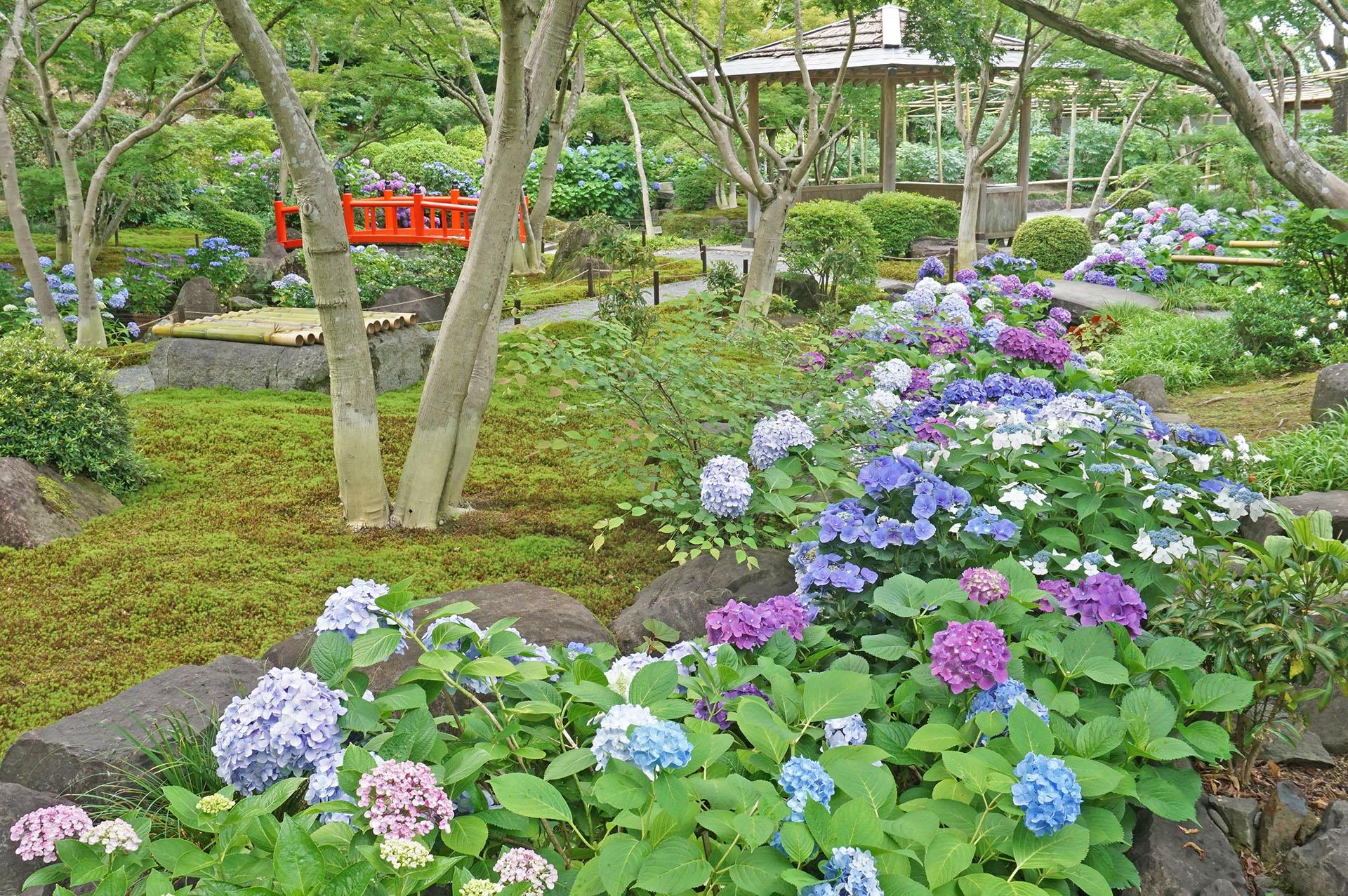 日本庭園のアジサイ