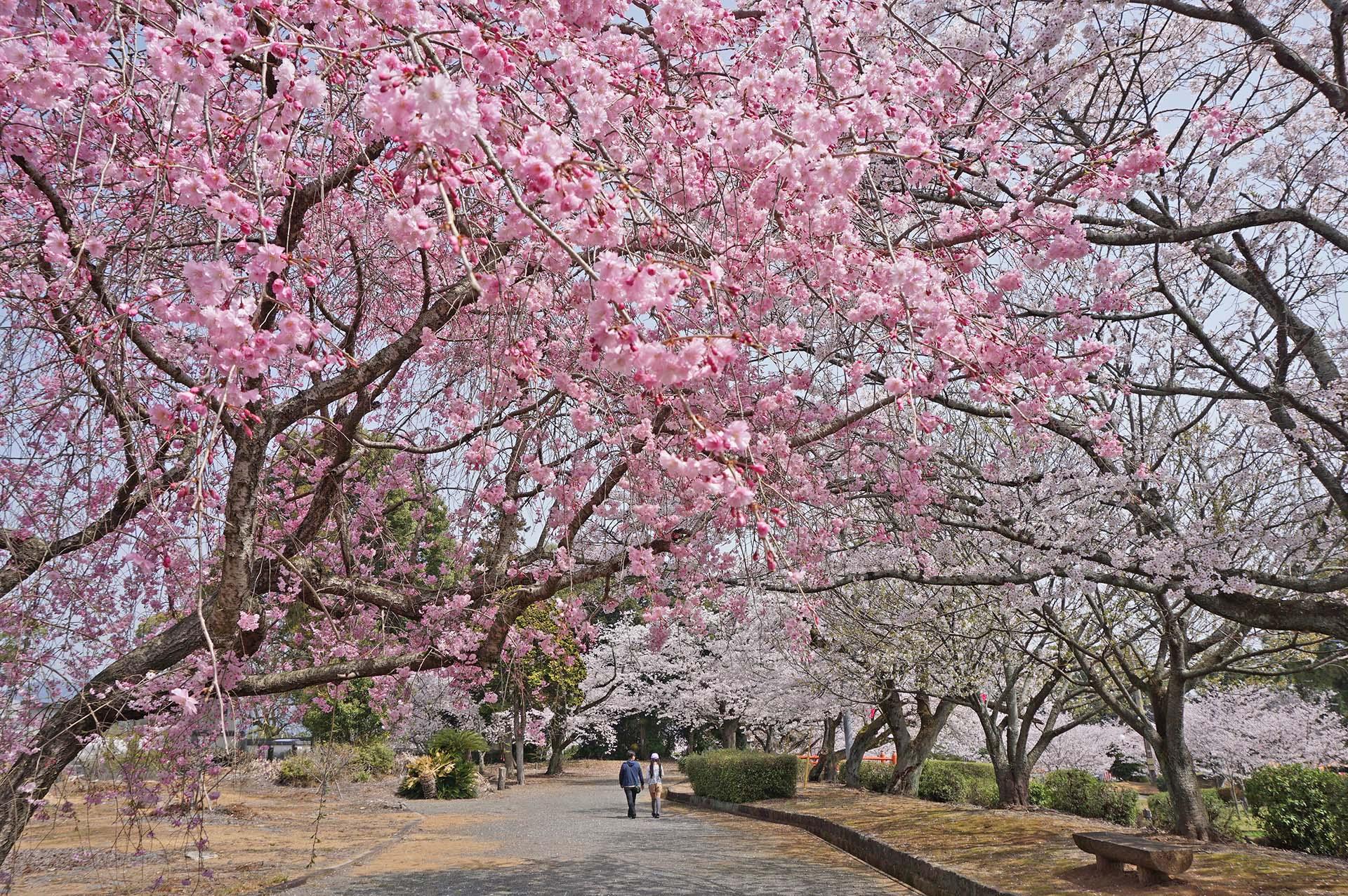 旭ヶ岡公園の桜まつり