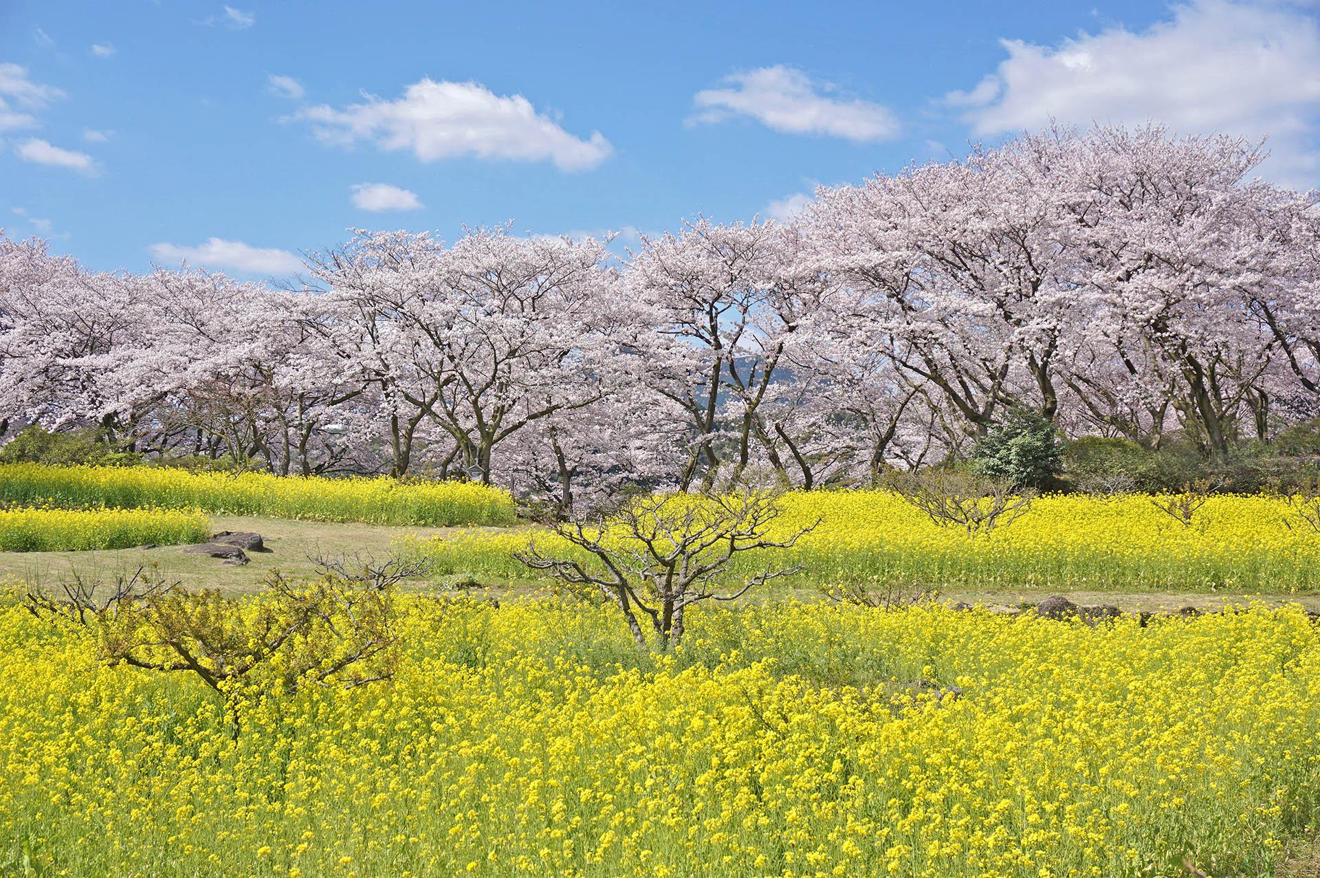 東山公園の頂上に咲く桜と菜の花