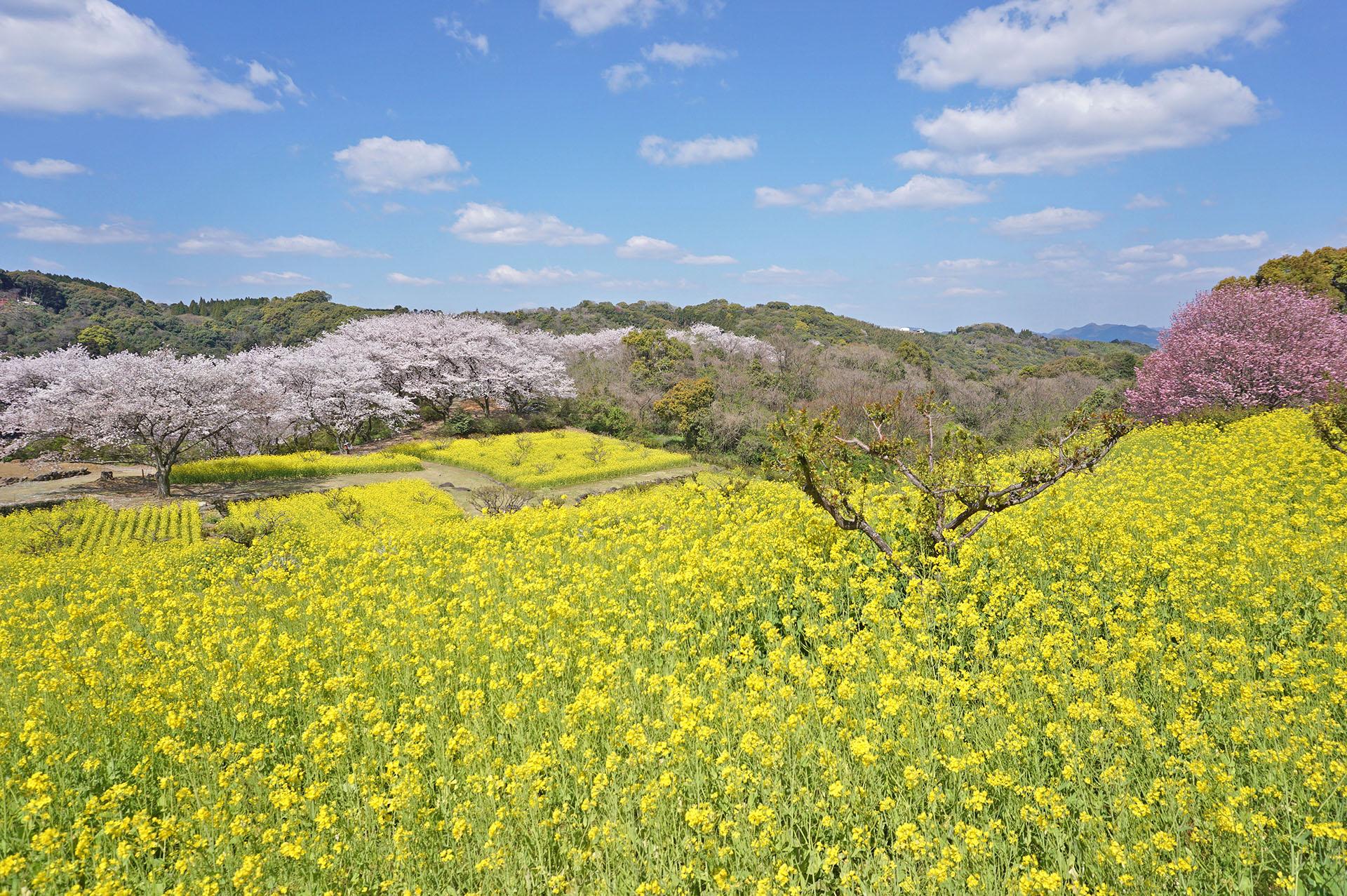 東山公園の桜と菜の花