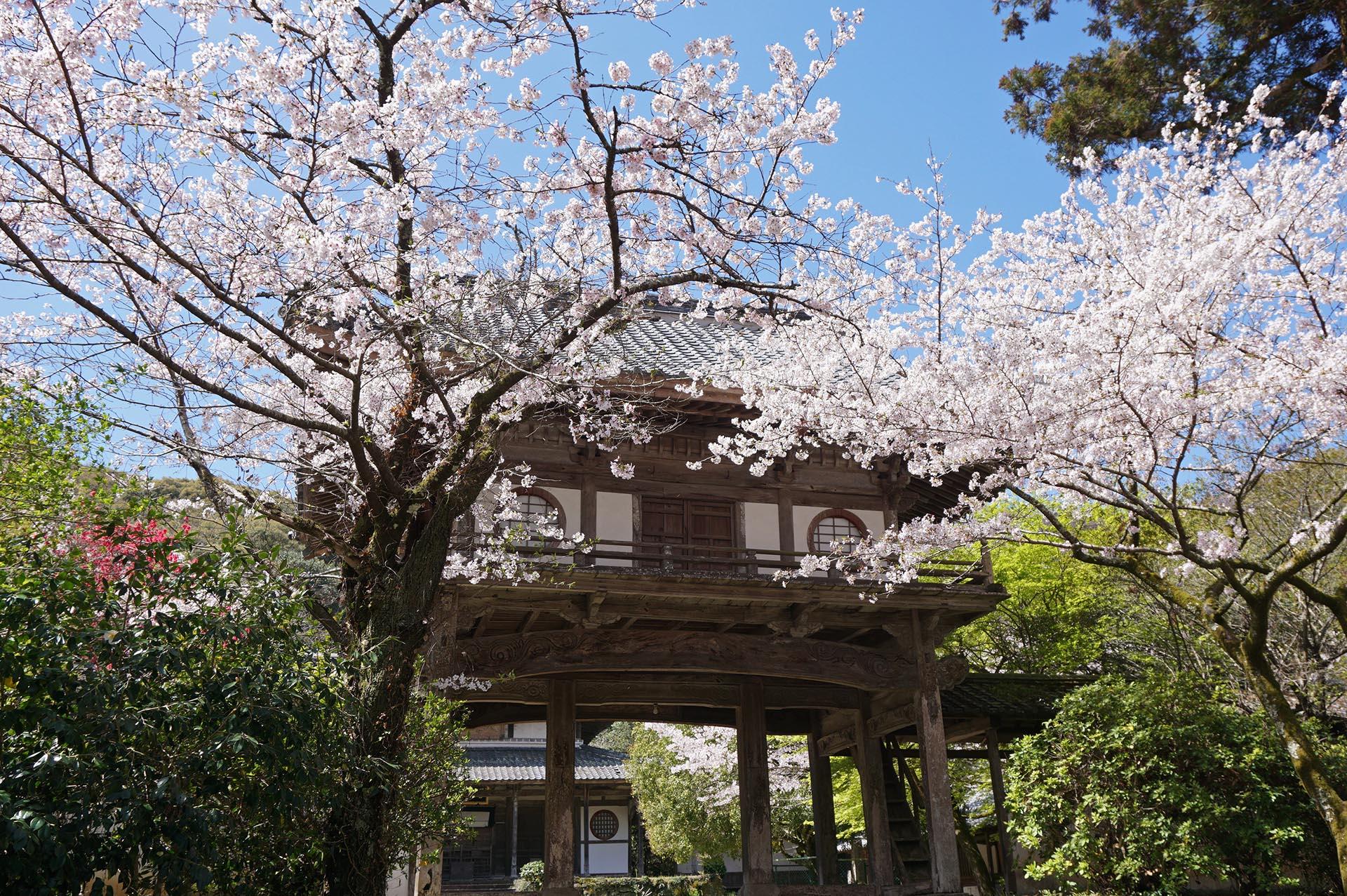 普明寺の楼門と桜