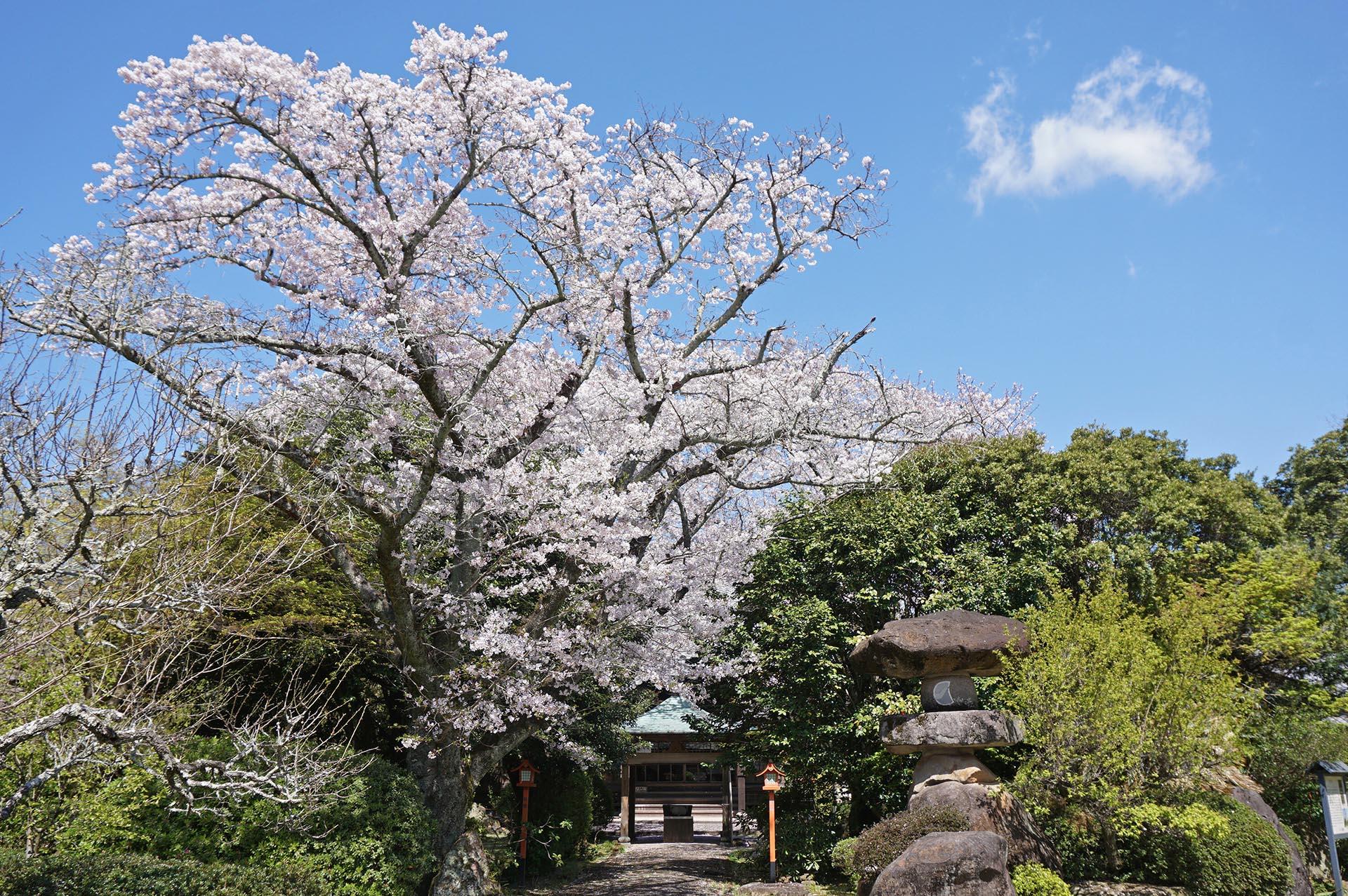 誕生院の桜