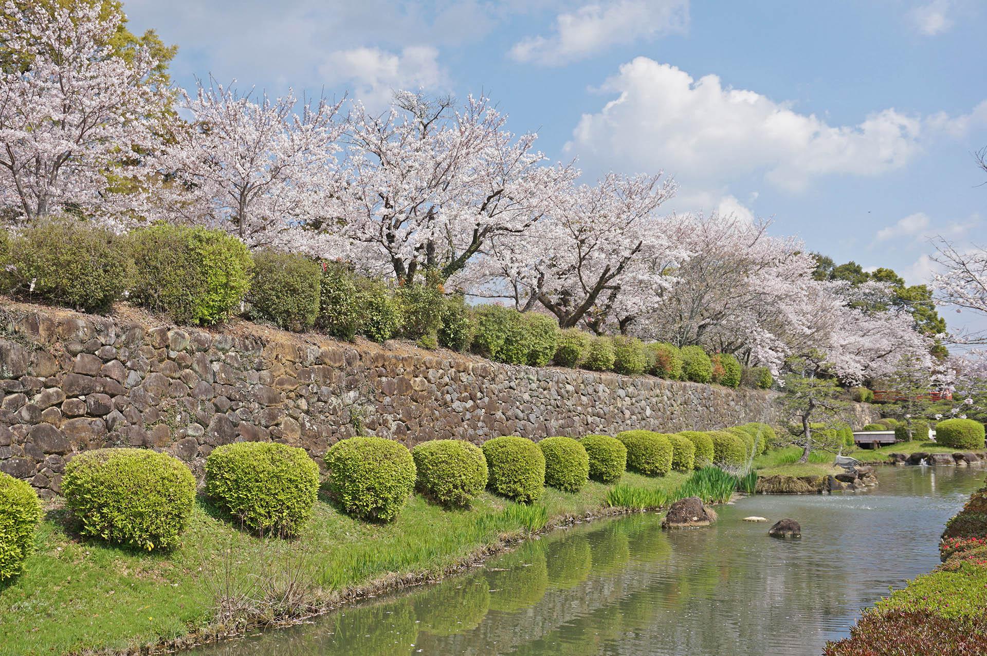 旭ヶ岡公園の池の周囲の桜