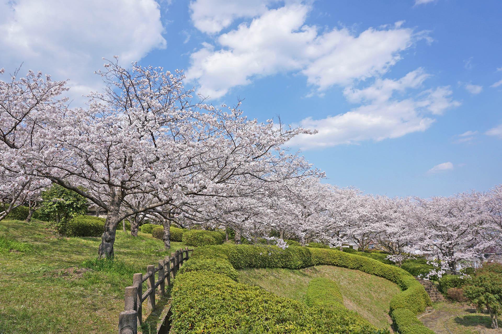 臥竜ヶ岡公園の桜