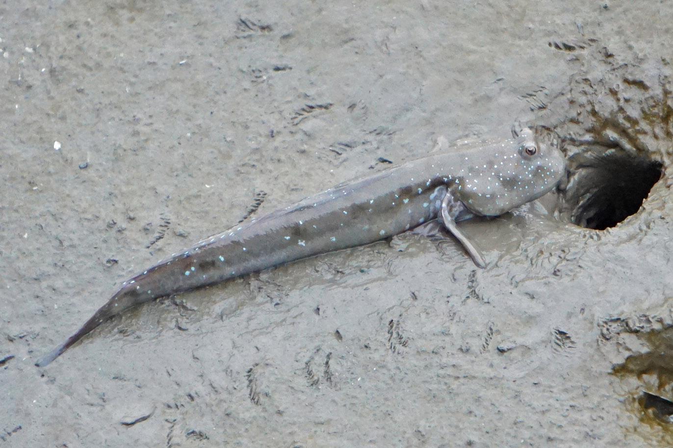 有明海のムツゴロウ